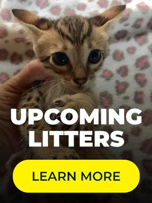 Savannah Kitten Breeders