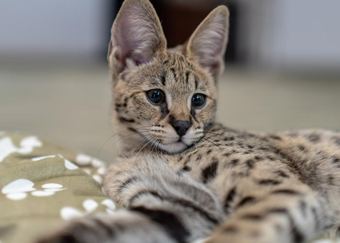 Savannah Cats in MI