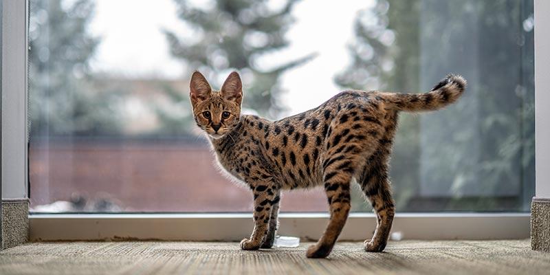 history of savannah cats