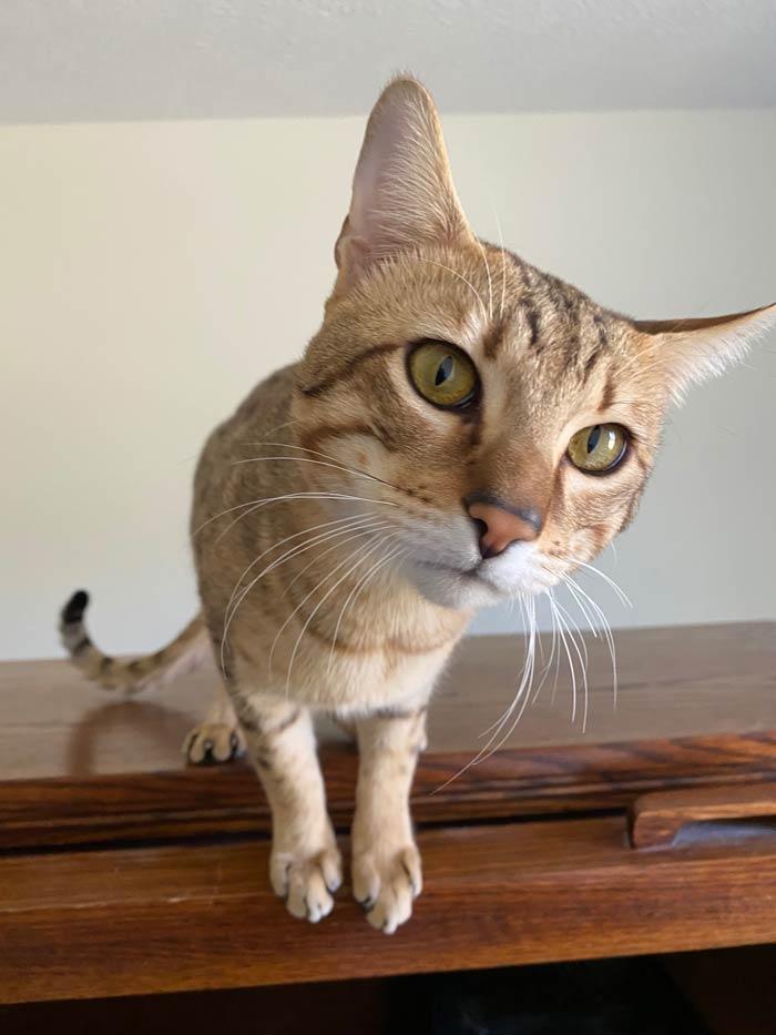 gus adopt savannah cats hillsdale mi