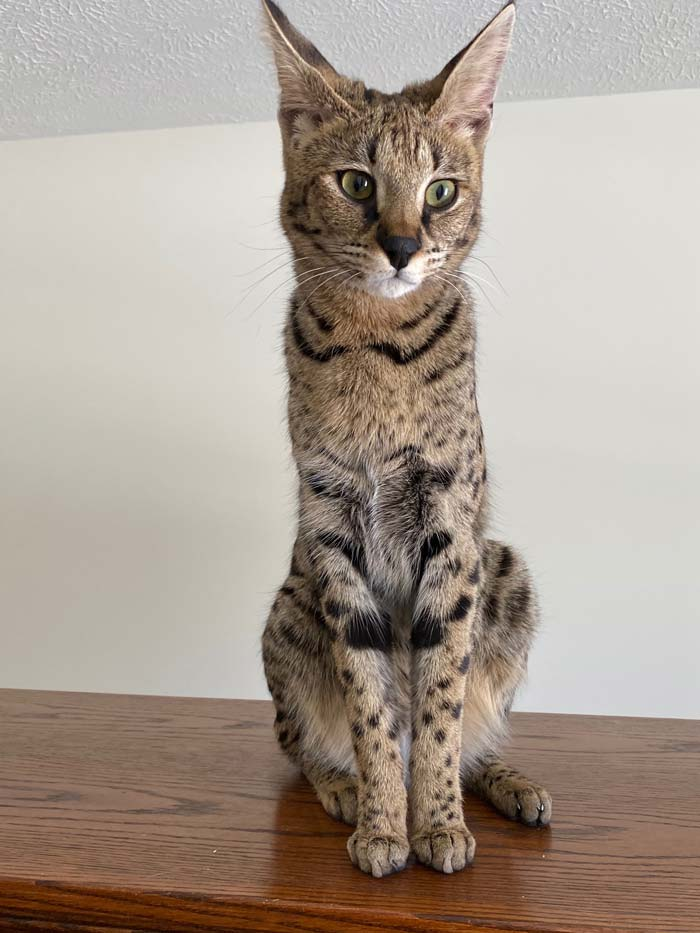 savannah cat adoption service hillsdale mi
