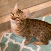 savannah cat available adopt hillsdale mi